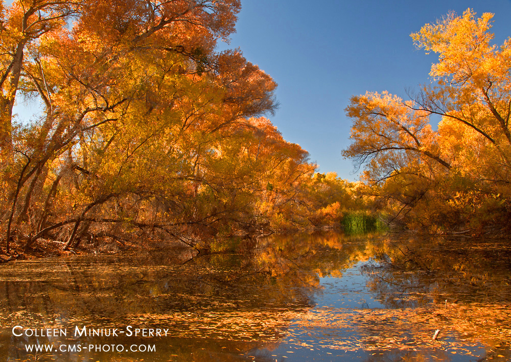 """Striking Gold,"" Hassyampa River Preserve, Arizona"